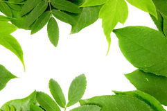 Fresh green leaves border. On white background Royalty Free Stock Image