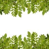 Fresh green leaves border. Fresh green leaves border isolated on white background Royalty Free Stock Photos