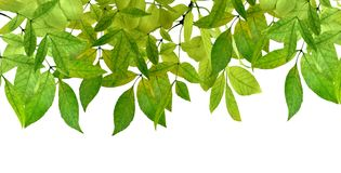 Fresh green leaves border on white background. isolated without shadow. Green Leaves border . Green leaves isolated on white background without shadow. Spring Royalty Free Stock Photography