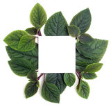 Fresh green leaves borderon white. Flat lay. Top view. Royalty Free Stock Images