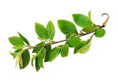 Fresh green leaves branch Stock Photos