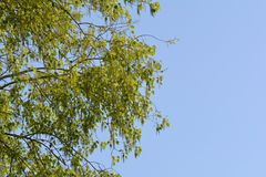 Fresh green leaves on branch Royalty Free Stock Photos
