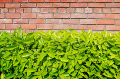 Fresh green leaves and brick wall background texture Royalty Free Stock Photo