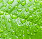 Fresh green leaves. Bright green leaf photo with water drops in the morning. Shallow depth of field Royalty Free Stock Images