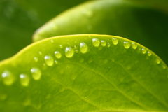 Fresh green leaves. Bright green leaf photo with water drops in the morning. Shallow depth of field Stock Image