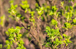 Fresh green leaves budding on the wild rose bush Royalty Free Stock Image