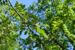Fresh green leaves and buds of Robinia pseudoacacia against the sky. Fresh green leaves and buds of Robinia pseudoacacia against blue sky Royalty Free Stock Photo