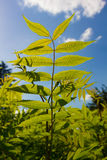 Fresh green leaves of a bush on a background of the blue sky of Royalty Free Stock Photo