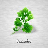 Fresh green leaves coriander Stock Images