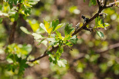 Fresh green leaves, currant bushes Royalty Free Stock Image