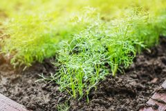 Fresh green leaves of dill with drops of dew in the garden garden. Background. Natural healthy food stock image