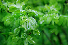 Fresh green leaves with drops of rain Royalty Free Stock Images