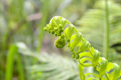 Fresh green leaves of a fern Royalty Free Stock Photos