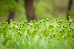 Fresh green leaves of a fern Stock Photography