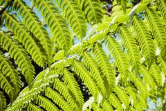 Fresh green leaves of a fern in the blurry background Stock Image