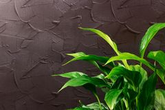 Fresh green leaves in a flowerpot, after the rain with water drops. Botanical foliage nature background. Template for wallpaper. Copy space stock image