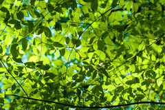 Fresh green leaves in the forest Stock Photo