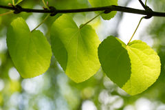 Fresh green leaves in forest Royalty Free Stock Images
