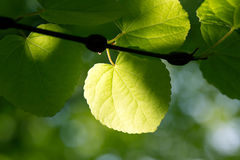 Fresh green leaves in  forest Stock Photography