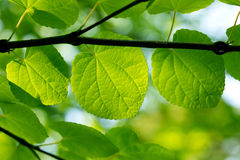 Fresh green leaves in a forest Royalty Free Stock Photos