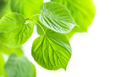 Fresh green leaves frame isolated Royalty Free Stock Image