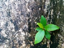 Fresh green leaves germinate on the concrete wall mottled Stock Images