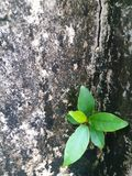 Fresh green leaves germinate on the concrete wall mottled Stock Image