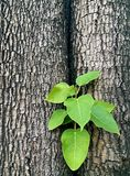 Fresh green leaves germinate in the middle of a tree Stock Photos