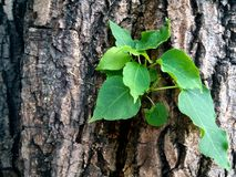 Fresh green leaves germinate in the middle of the tree Royalty Free Stock Images