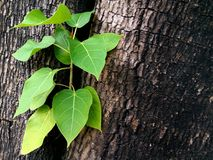 Fresh green leaves germinate in the middle of the tree Stock Photo