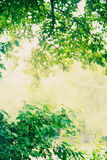 Fresh green leaves glowing in sunlight Royalty Free Stock Photography