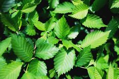 Fresh green leaves on greenery background. royalty free stock photography