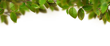 Fresh green leaves header. On white background Stock Photos