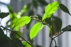 Fresh green leaves of indoor plant, close up. Photo with selective focus Stock Photo