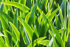 Fresh green leaves of iris in the morning light - natural floral Stock Images