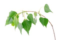 Fresh green leaves isolated on a white Stock Image