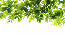 Fresh green leaves. Isolated on white background Stock Images