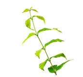 Fresh green leaves isolated on white Stock Images