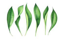 Fresh green leaves isolated on white background. Watercolor illustration. Fresh green leaves isolated on white background. Watercolor hand drawn illustration stock illustration