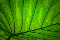 Fresh green leaves. Fresh green leaf backgrounds. Shallow depth of field Royalty Free Stock Photo
