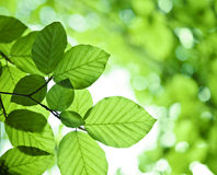 Fresh green leaves. Fresh green leaf backgrounds. Shallow depth of field Royalty Free Stock Image
