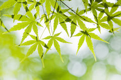 Fresh green leaves. Of maple tree Royalty Free Stock Images