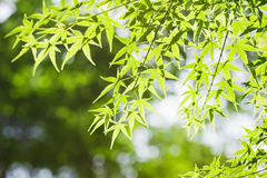 Fresh green leaves. Of maple tree Stock Images