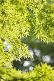 Fresh green leaves. Of maple tree Royalty Free Stock Photos