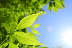 Fresh green leaves and natural sun rays. Fresh green leaves in selective focus and natural sun rays Royalty Free Stock Image