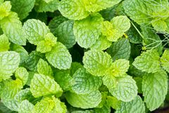 Fresh green leaves of organic basil close-up. Healthy eating. royalty free stock images