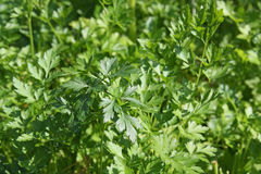 Fresh green leaves of a parsley Stock Image