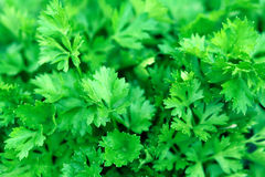 Fresh green leaves of parsley royalty free stock images