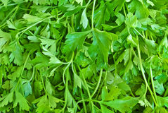 Fresh,green leaves, parsley,ready to be used as food Stock Photography