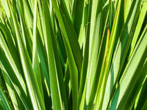 Fresh green leaves pattern. Background with bright leaf texture, plant with narrow long straight leaves in the sunlight Royalty Free Stock Photos